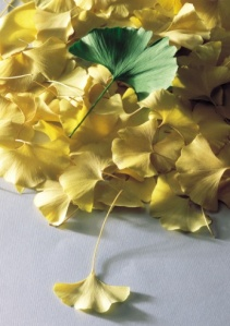 Ginkgo Biloba, leaves from the oldest tree help with old age