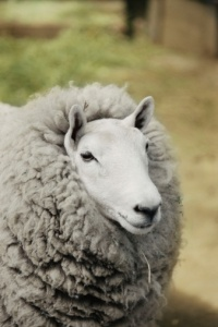 Sheep's milk can give you more vitamins than cow's milk