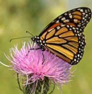 Milk Thistle - helping people feel comfortable for generations